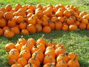 Pumpkins at Alldredge Orchards!! Looks like fall