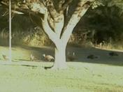 Turkeys in the backyard.