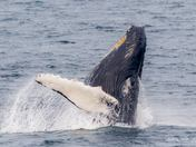 Humpback Calf Breaching