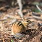 Chipmunk on the trail