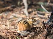 Chipmunk on the trail