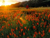 California Knows How to Poppy