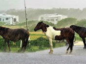 Wild horses enduring the storm