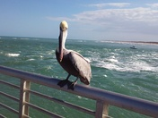 One Lucky Pelican at Sebastian Inlet State Park