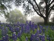 Bluebonnets @ Washington On The Brazos