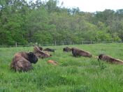 Young Bison Resting