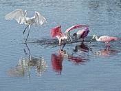 Spoonbills Feeding at Low Tide