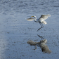 Great White Egret landing at Low Tide