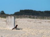 Oystercatcher in Cape May