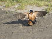 Frisky Barn Swallows