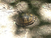 Box Turtle Crossing