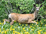 Deer stepping high