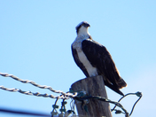 A Visit from Osprey