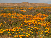 The California State Flowers