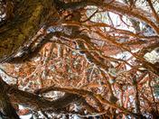 Red Algae and lace lichen on Monterrey Cypress