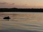 Dolphin Feeding at Sunrise