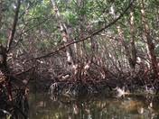 Peaceful Mangroves