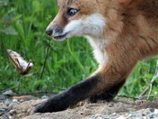 A Red Fox kit playing with a mouse dinner.