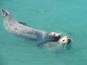 Harbor Seals of Seward