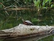 Turtle on Redhouse Lake
