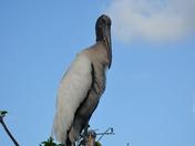 Wood storks mama & chick
