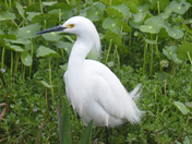 Gentle White Egret at home