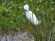 Audobon Egret