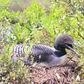 Nesting Common Loon