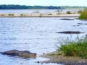 Alligator Territory