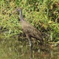 Limpkin on the Bank