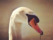 Mute Swan Closeup