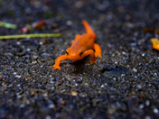 Red Eft walking in Vermont