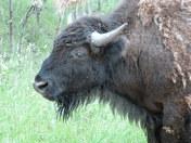 Bison Facial Profile