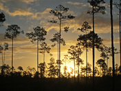 Sunrise among the pines