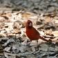 Highland Hammocks Cardinal