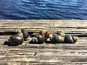 Snails @ The Lake.