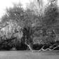 Foggy Fairchild Oak Tree