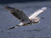 Caesar Creek  Blue Heron