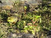 Frog Frolic