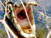 Smiling Alligator