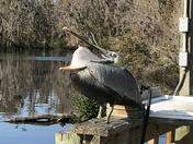 Yawning Pelican