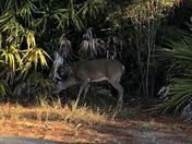 Campground Deer