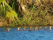Anhingas lined up