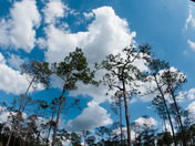 Blue Skies in the Pines