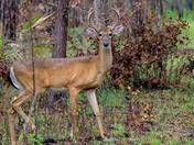 Silver Springs Deer