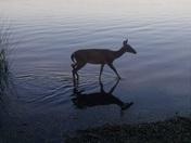 Fishing deer