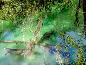 Manatee in Blue Springs