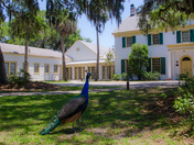 Peacock at Ribault Club