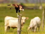 Cattle & Caracara