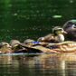 New Wood duck family